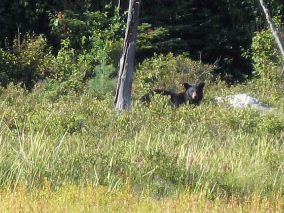 Black Bear Ontario, Canada