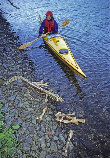 Caribou Skeleton Slate Islands Lake Superior, Ontario