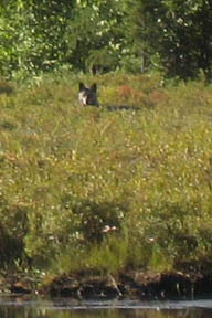 Gray Wolf Ontario, Canada
