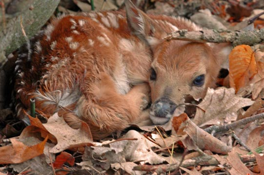 Newborn Fawn